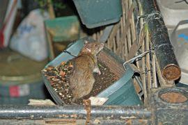 Smeđi štakor