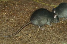Crni štakor