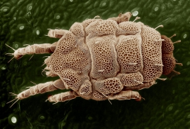 Yellow mite (Tydeidae), Lorryia formosa